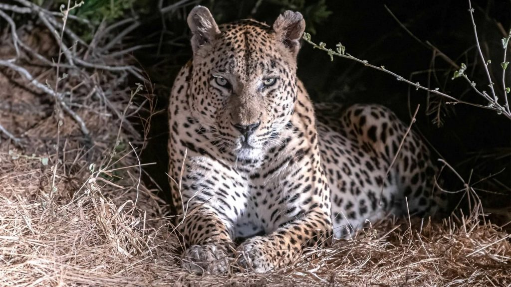 Leopard (Panthera pardus) in Tanzania