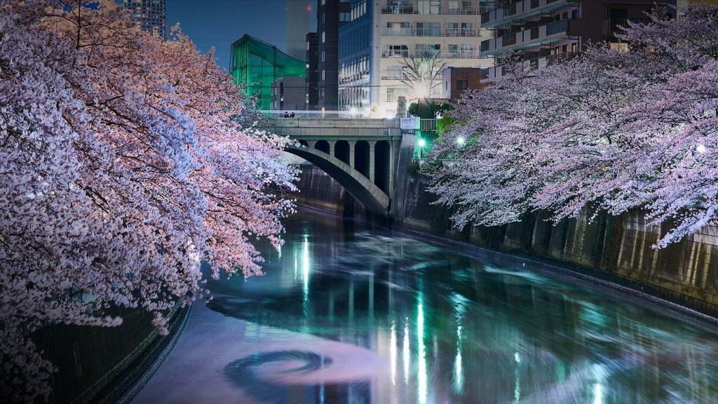 Sakura blossom, cherry trees at Meguro River, Tokyo, Japan
