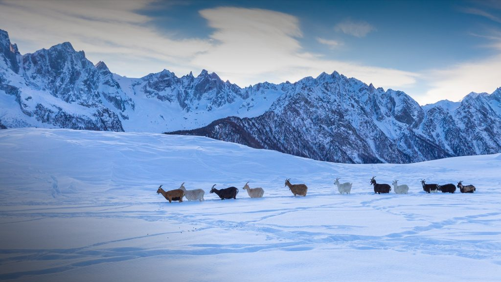 Goats walks in the fresh snow, Soglio, Bregaglia Valley, Canton of Grisons, Switzerland