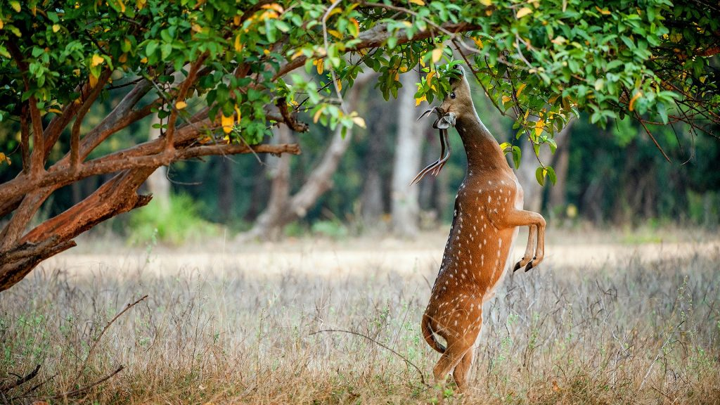 Eating wild male chital or cheetal deer (Axis Axis), India