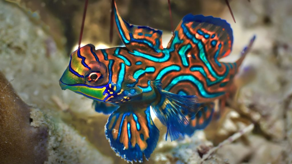 Small tropical fish Mandarinfish close-up, Sipadan, Celebes sea, Malaysia