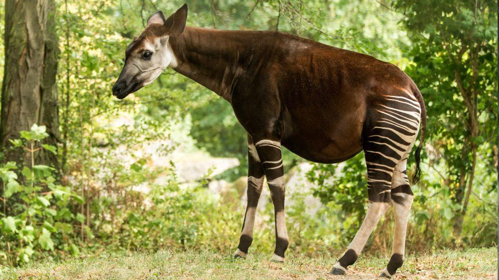 Okapi (Okapia johnstoni) forest or Congolese giraffe, Congo