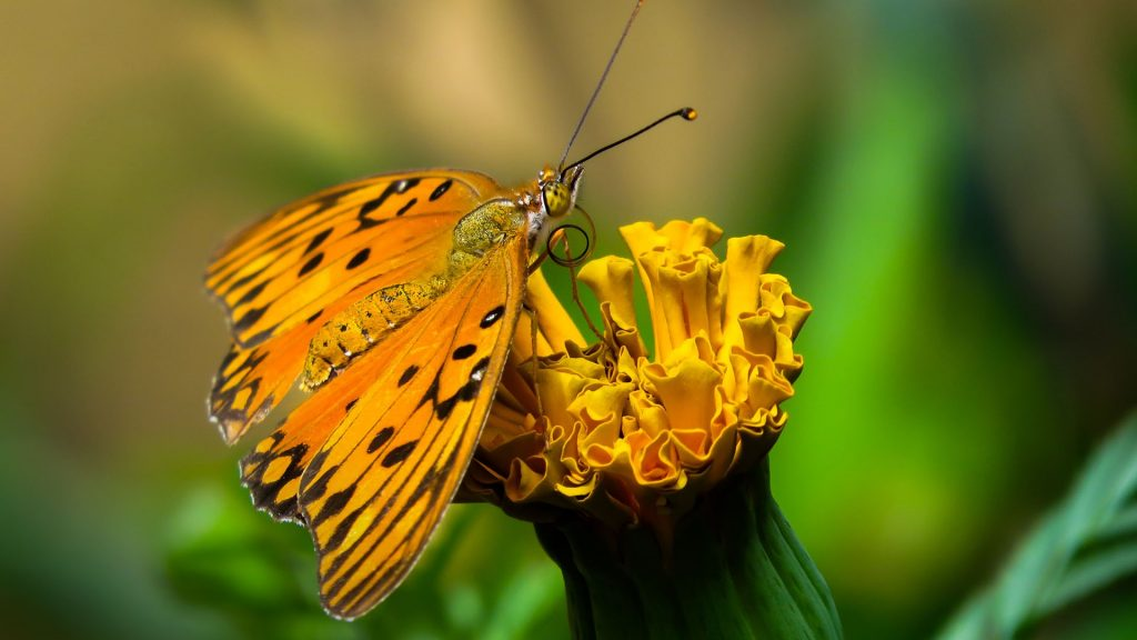 Gulf fritillary or passion butterfly (Agraulis vanillae) on a flower close-up, Brazil