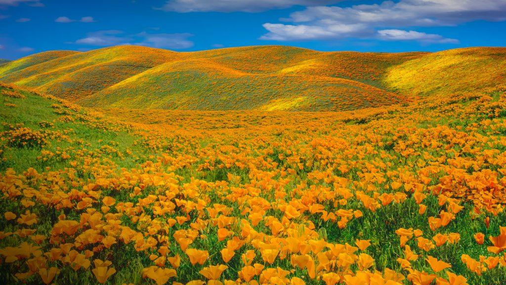 Springtime poppy (Eschscholzia californica) bloom at Antelope Valley, California, USA