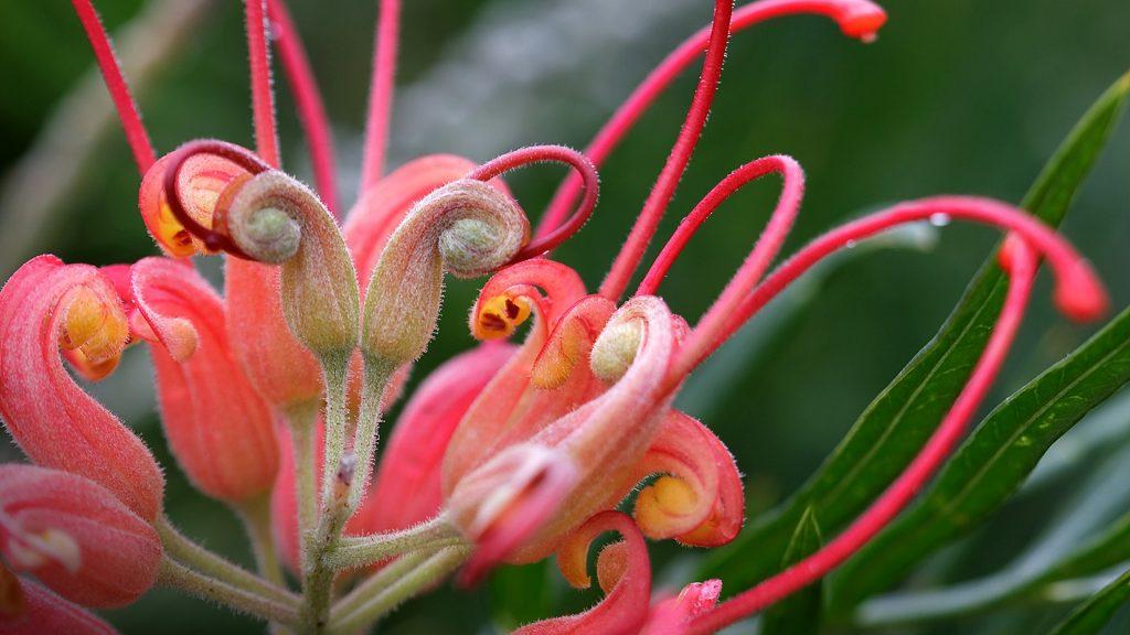 Closeup of a grevillea flower in a garden, Australia