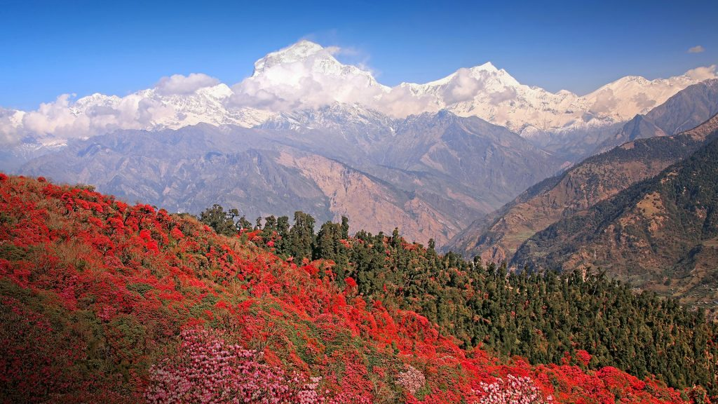 Dhaulagiri peak with spring blossoming rhododendron forest, Himalayas, Nepal