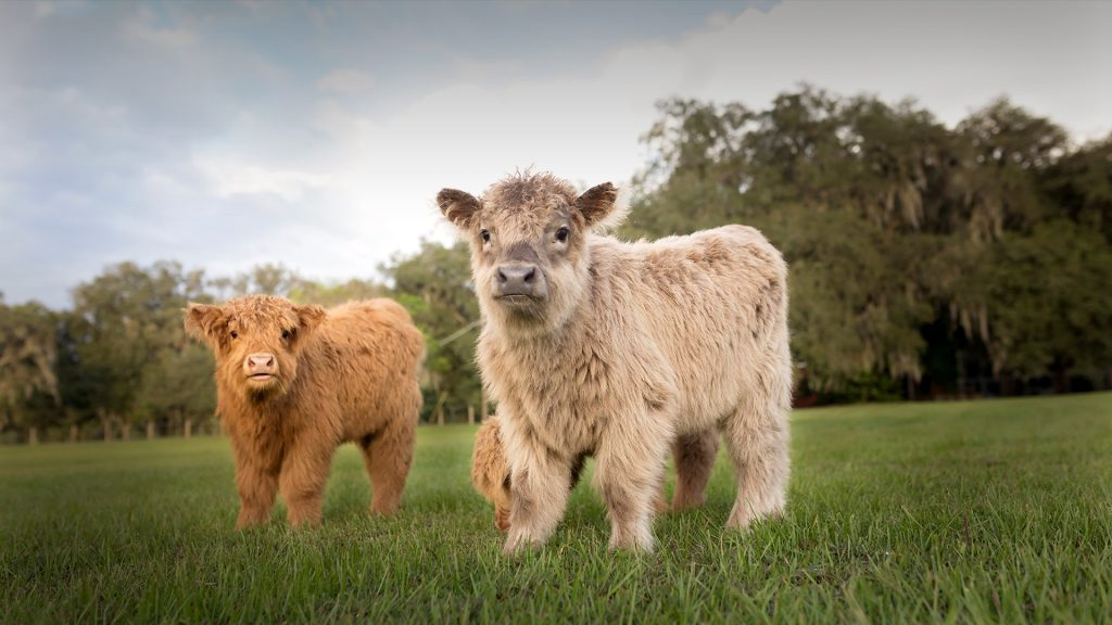 Portrait of Highland Cattle calves standing on grassy field against cloudy sky, USA