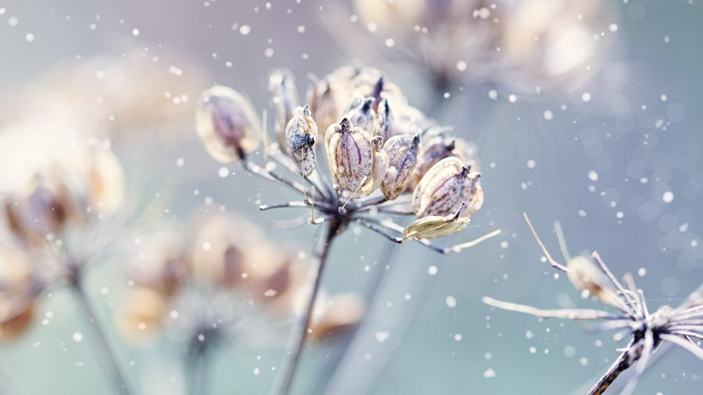 Winter nature, flowers with snow close-up, Netherlands