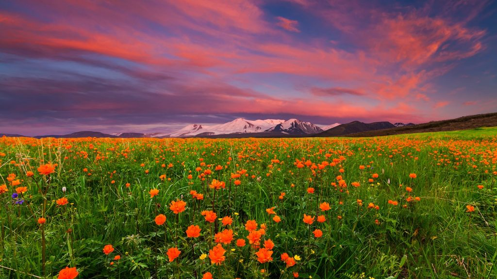 Blooming globe-flowers (Trollius) in the mountains, Russia