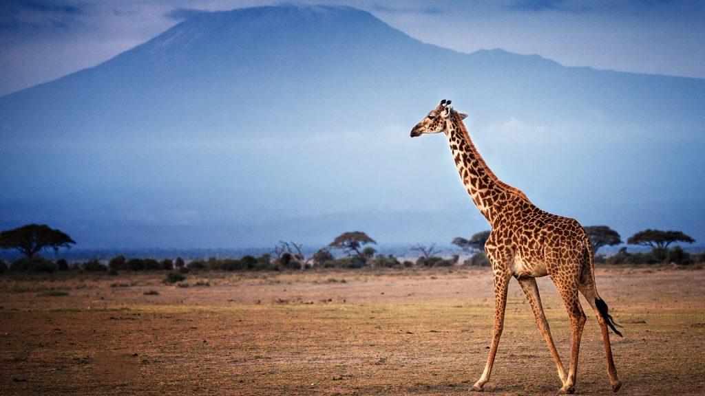Giraffe walking in front of Mount Kilimanjaro in Amboseli, Kenya