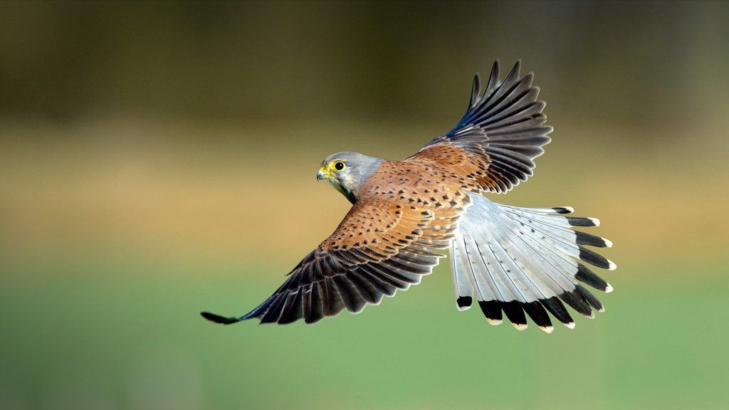 Kestrel hawk fly, North Yorkshire, England, UK