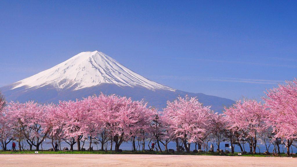 Fuji and sakura blossom at Lake Kawaguchiko, Yamanashi, Japan