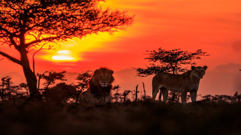 Male and female lions at sunrise, Naboisho Conservancy, Narok County, Kenya