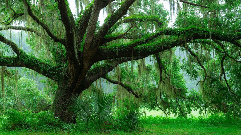 Moss on Southern Live Oak tree (Quercus Virginiana), Central Florida, USA