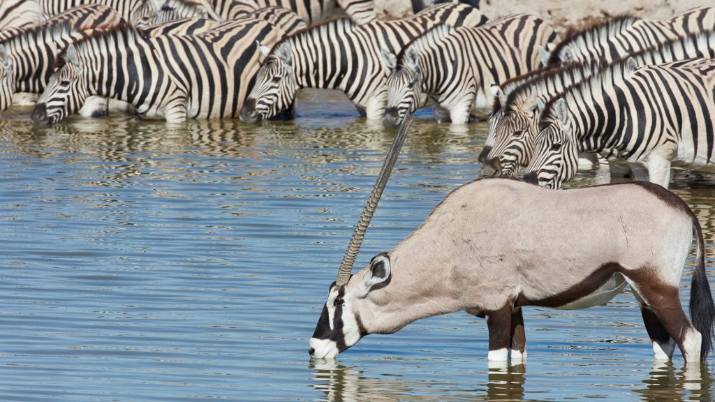 Burchell's zebra and Thomson's gazelle standing in watering hole drinking, Namibia