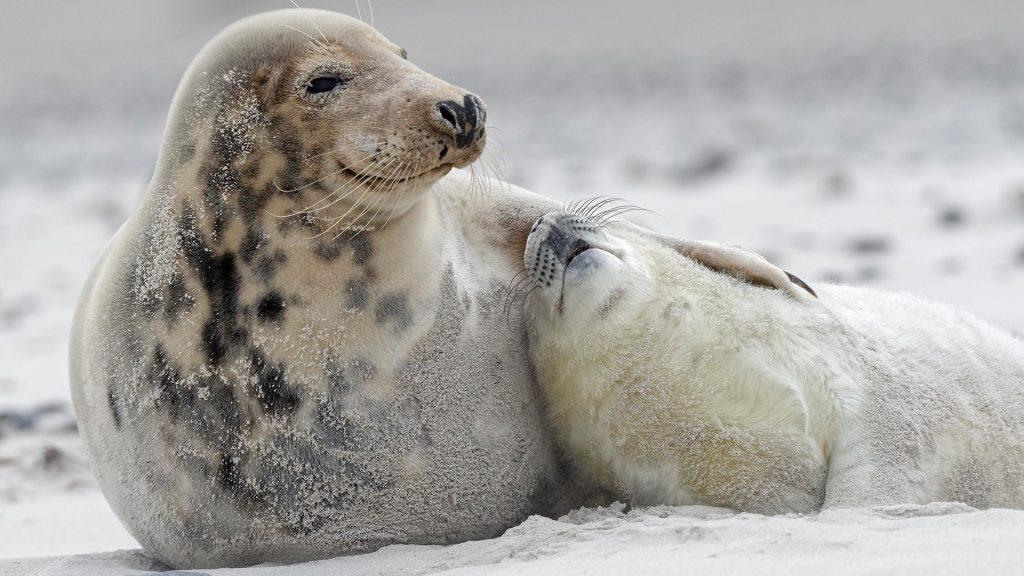 Grey seals (Halichoerus grypus) baby with dam at the beach, Island of Düne, Heligoland, Schleswig-Holstein, Germany
