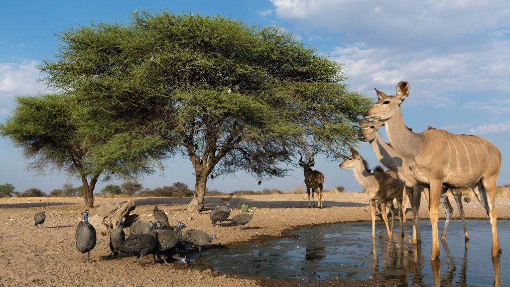 Greater kudus and Helmeted guineafowl at waterhole, Kalahari, Botswana