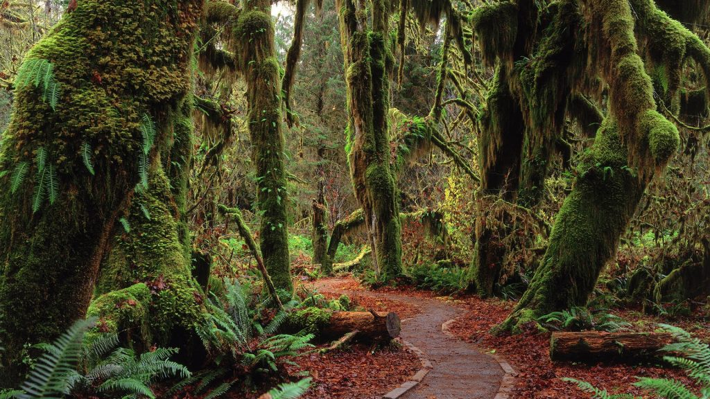Rainforest in Olympic National Park, Washigton state, USA