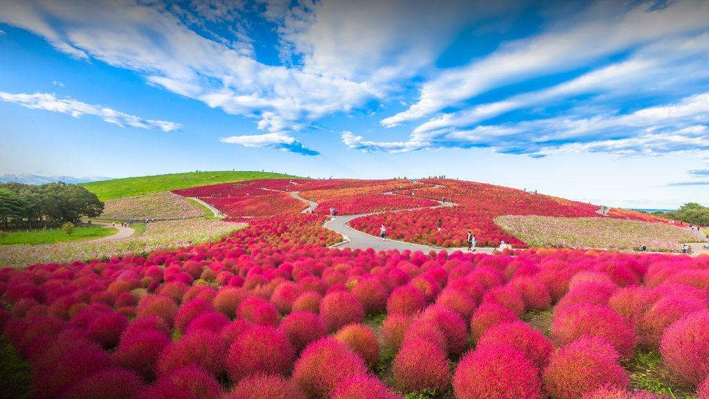 Red Kochia hill in Hitachi Seaside Park, Hitachinaka, Ibaraki, Japan