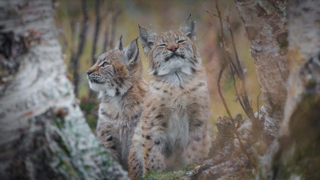 Eurasian lynx sisters experiencing their first snow, Norway