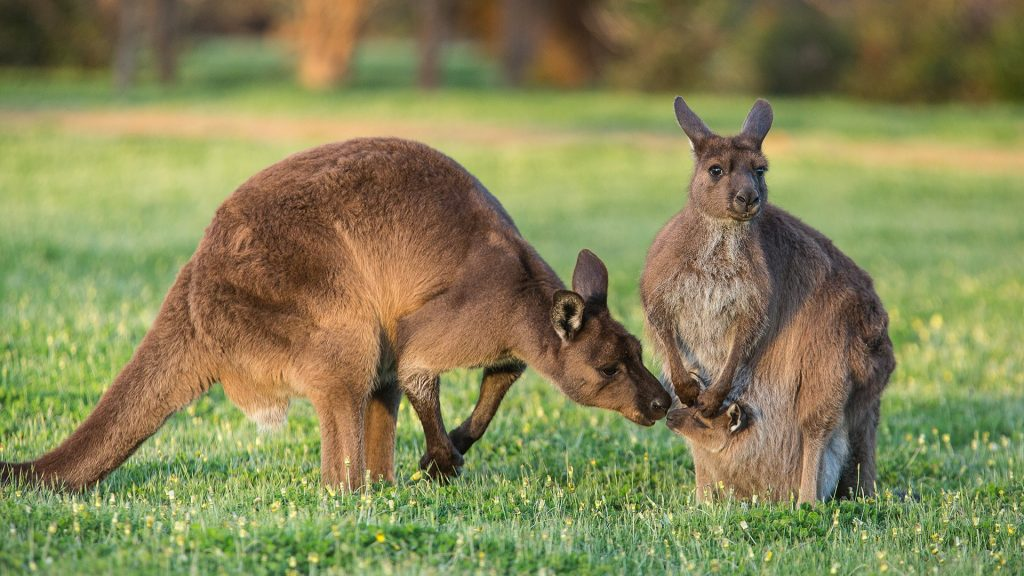 A western grey kangaroo family (Macropus fuliginosus), Australia