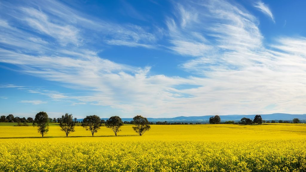 Place to relax, blooming canola field near Sydney, New South Wales, Australia