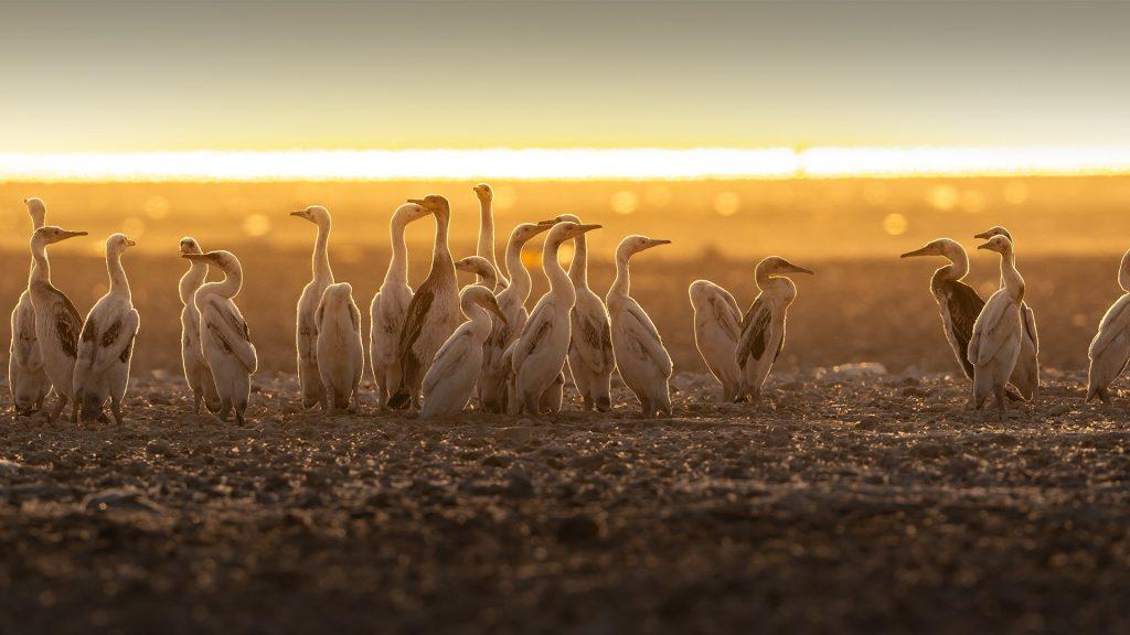 Cormorants babies early morning, Hawar Islands, Bahrain