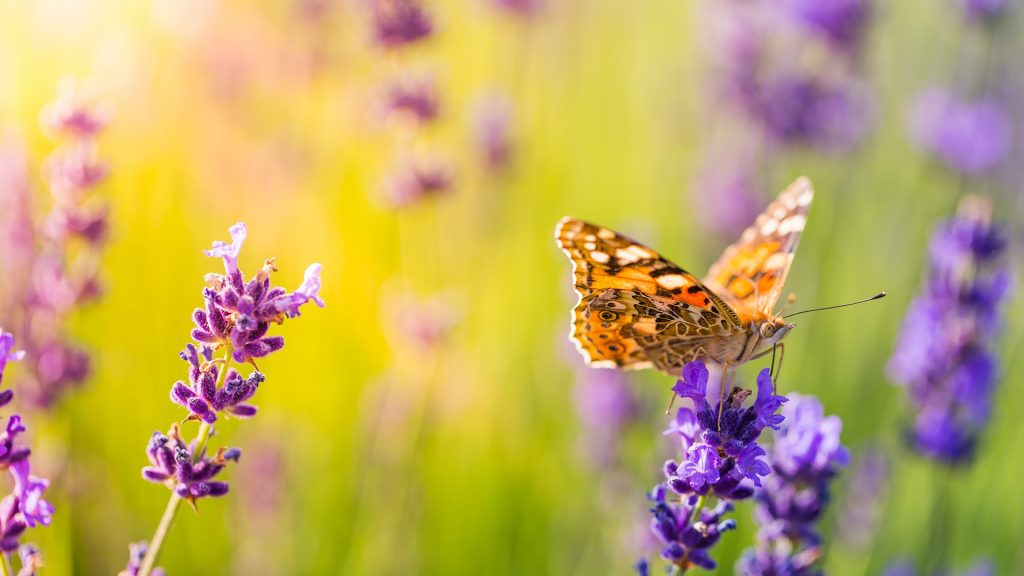 Closeup of a butterfly on a lavender flower, Hungary