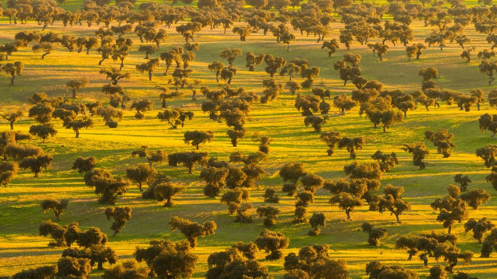 Savanna of oaks trees, dehesa, La Serena, Badajoz, Extremadura, Spain