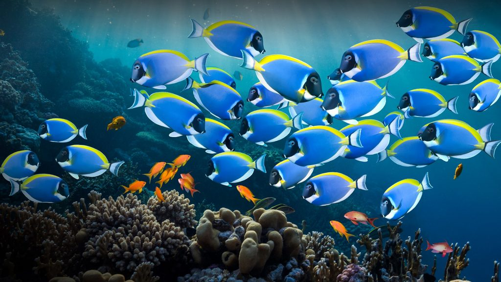Powder blue tang or powder-blue surgeonfish (Acanthurus leucosternon), Red Sea, Egypt