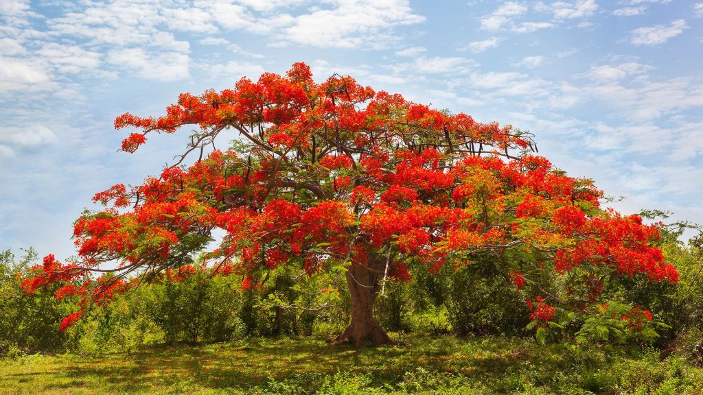 Red African tuliptree (Spathodea) in a garden on a sunny day, Bali, Indonesia
