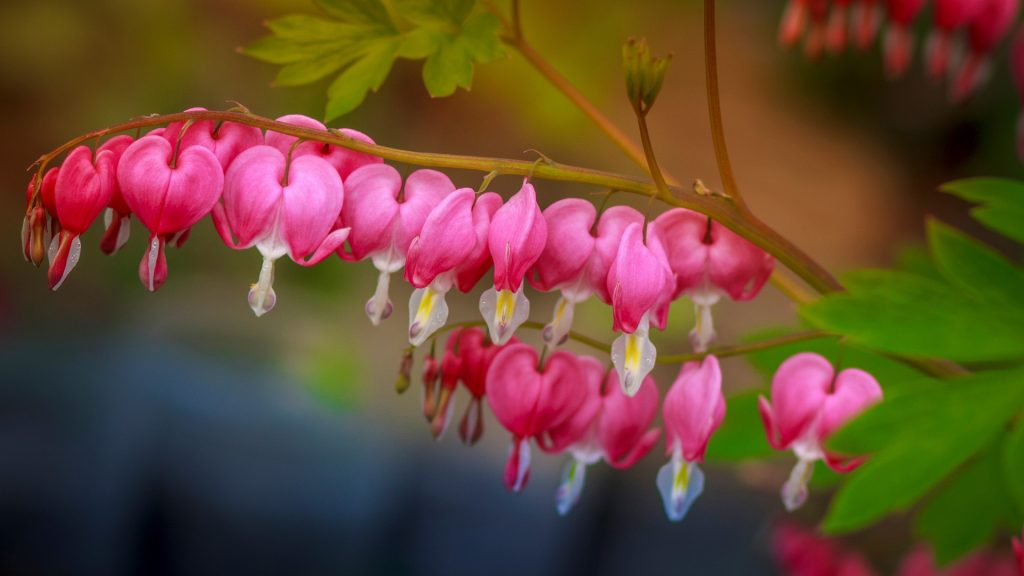 Close-up of pink bleeding heart flowers blooming in public park
