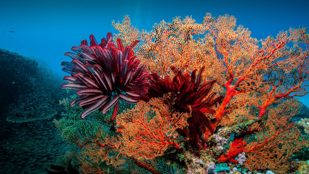 Feather stars and seafans, Lady Elliot Island, Great Barrier Reef, Australia