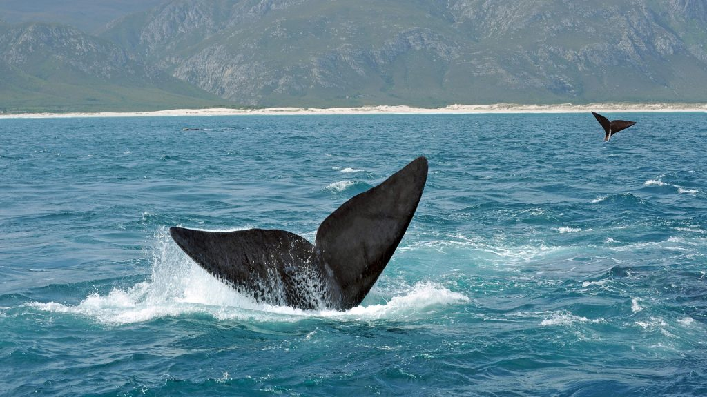 The tail fins (flukes) of Southern Right Whales off the South Africa coast near Hermanus