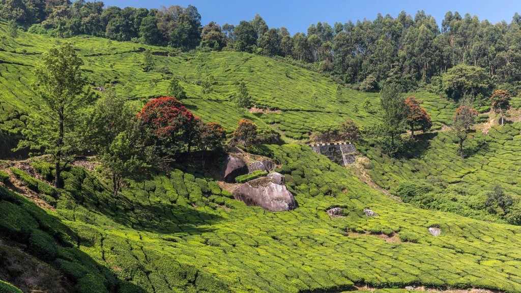 Tea plantation set on rolling hillside near Munnar, Kerala, India