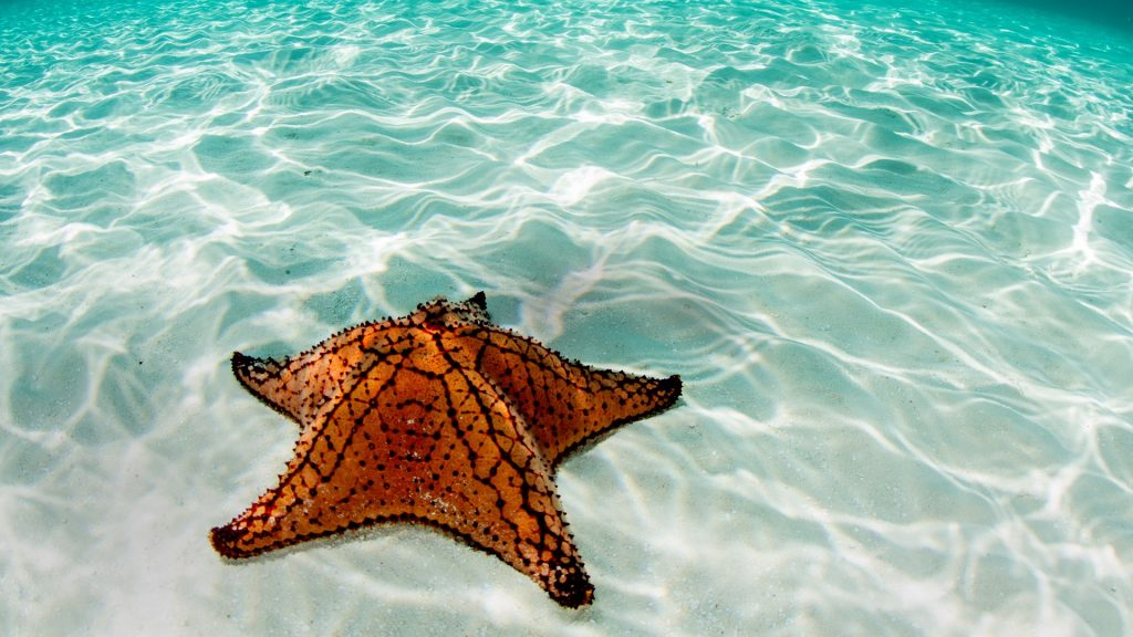 West Indian sea star at the coast of Belize, Mesoamerican Barrier Reef System