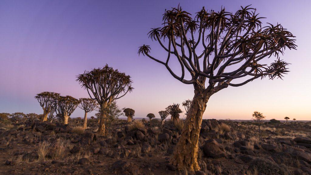 Quiver tree forest (Aloe dichotoma) at sunset, Gariganus farm, Keetmanshoop, Namibia