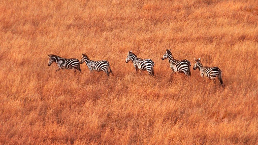Herd of zebras walking across savanna, Maasai Mara National Reserve, Kenya