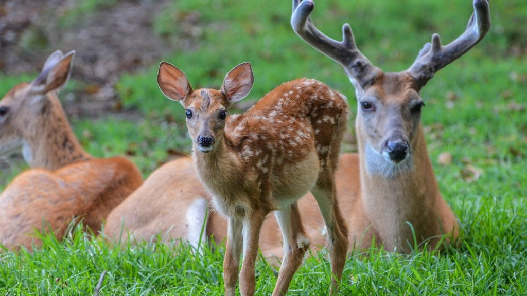 Family of whitetail deer laying in a field, Rockland, Delaware, USA