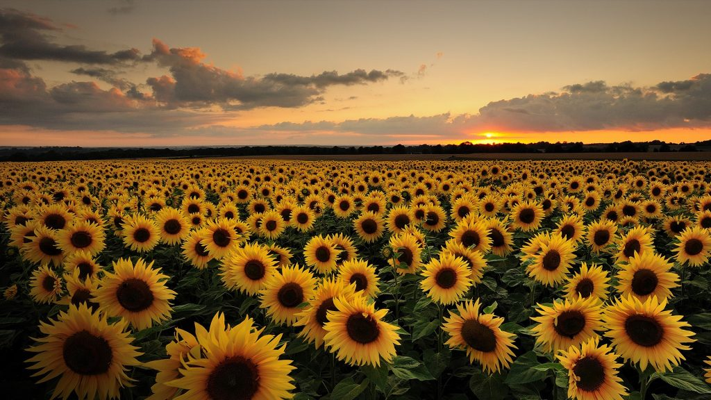 Sunflower field at sunset, Bishop's Waltham, Hampshire, England, UK