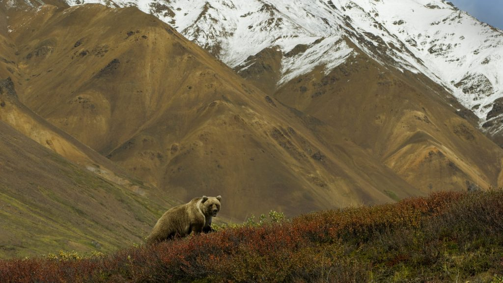 A grizzly bear hunts for berries on a ridge, Denali National Park, Alaska, USA