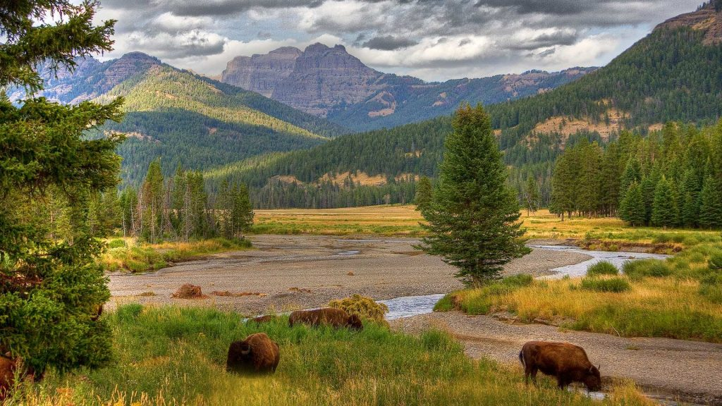 Bison grazing in Yellowstone National Park, Wyoming, USA