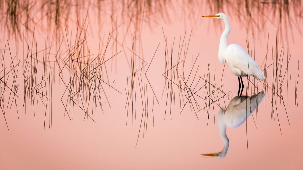 Great egret at sunrise in a pink colored marsh, Everglades national park, Florida, USA