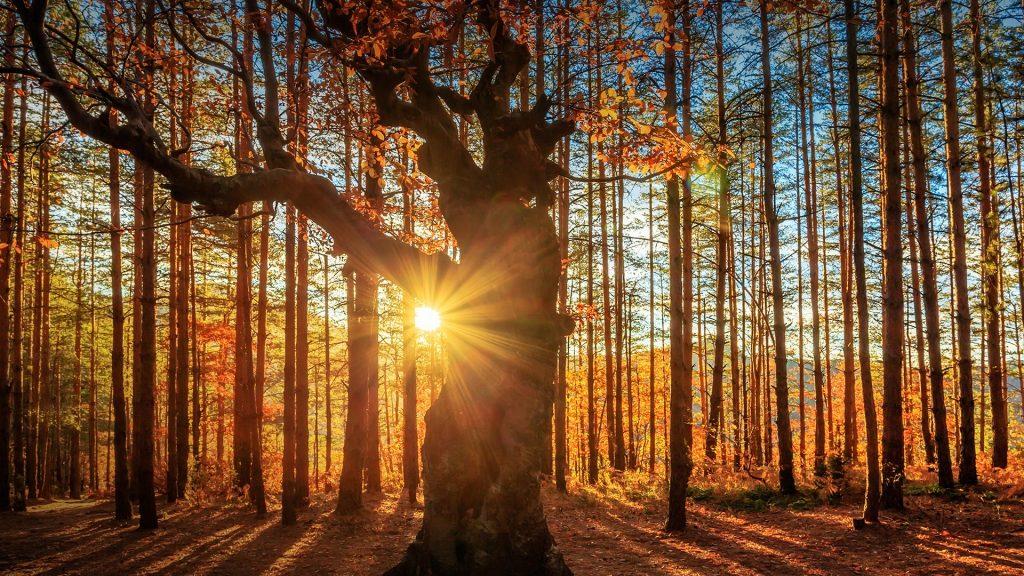 Sunbeams behind an oak tree at sunrise, Belintash, Rhodope Mountains, Bulgaria