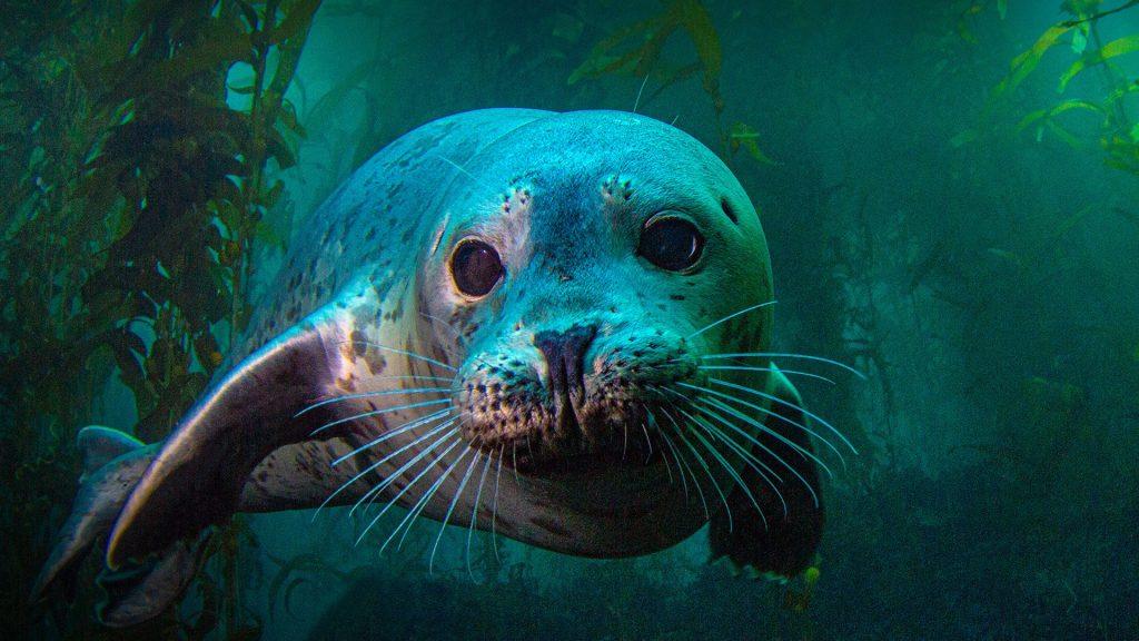 A harbor seal at Anacapa island, Channel Islands National Park, California, USA