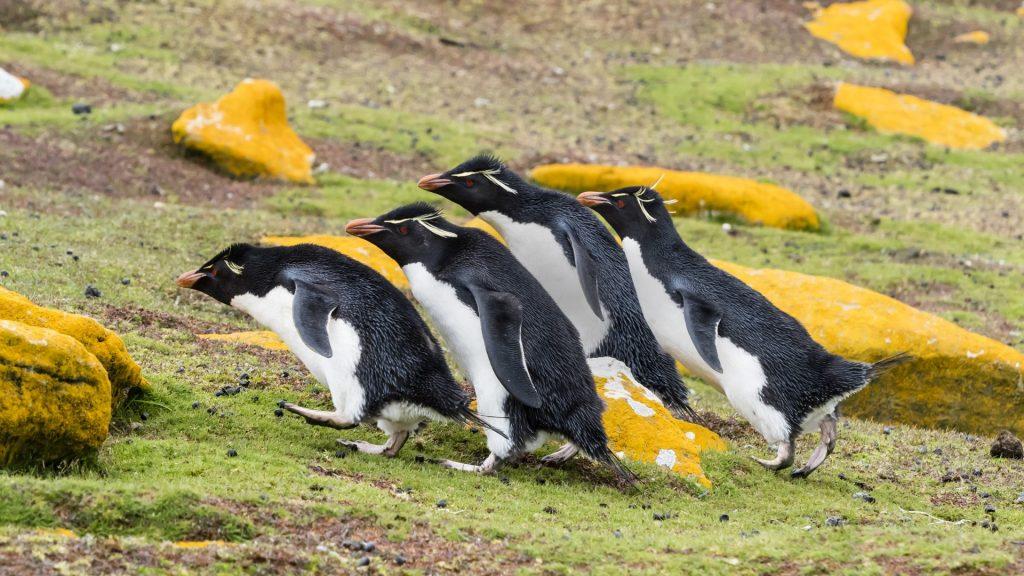 Adult southern rockhopper penguins (Eudyptes chrysocome) on Saunders Island, Falkland Islands