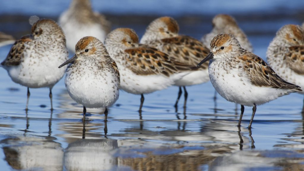 Western sandpipers, resting during spring migration, Washington, USA