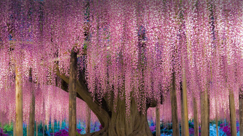 Wisteria trellis in Ashikaga Flower Park, Ashikaga, Tochigi, Japan