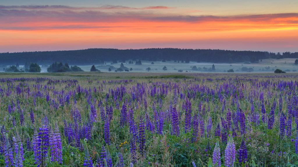 Field of lupins with red sky in the morning, Bavarian Rhön Nature Park, Germany