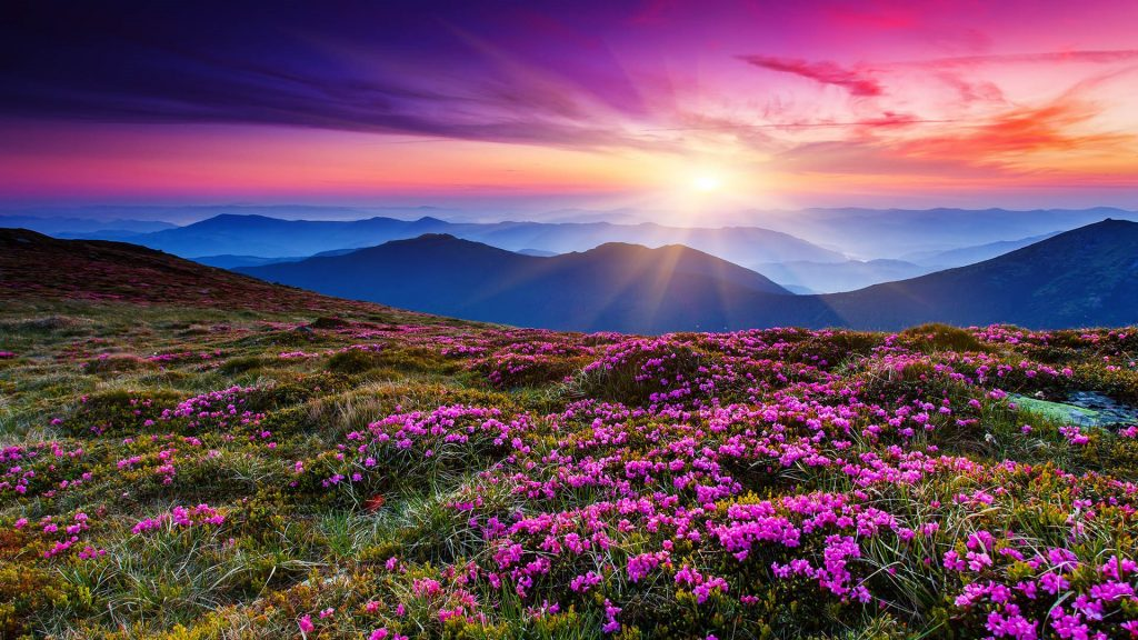 Pink rhododendron flowers on a summer mountain, Carpathian, Ukraine
